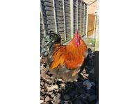 Lovely pair of buff orpington chickens £50