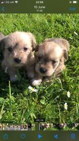 Chonzer (schnauzer and bichon mix) puppies for sale