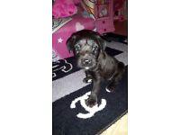 Bedlington cross patterdale puppies