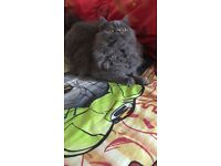 I have blue long hair british blue kitten for sale