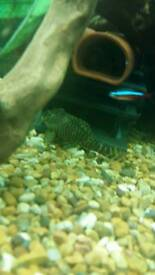Leopard frog plecos £80 for the pair