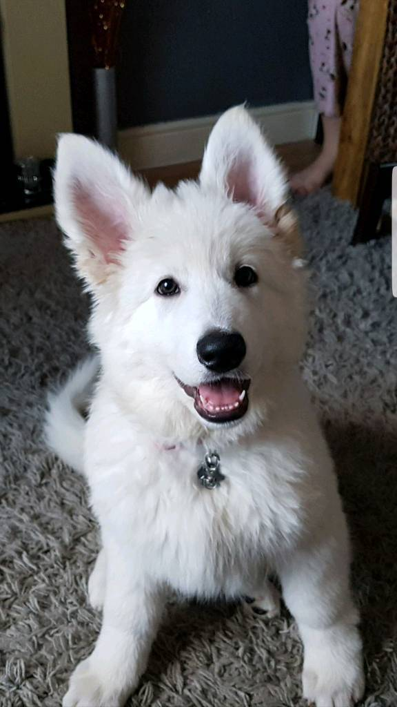 white german shepherd puppies in bristol gumtree