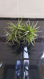 Air Plant (Tillandsia) with 3 large main florets - Ideal and unusual house plant !