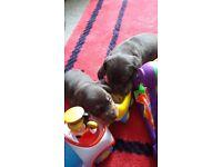 Miniature dachshund, 3 boy puppys
