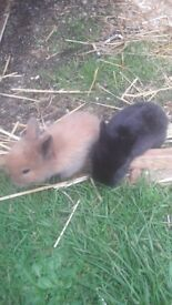 2 Baby Rabbits for sale boy and a girl