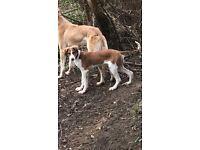 Lurcher bitch pup