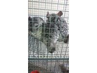 3 male chinchillas for sale