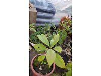 Avocado tree for bonsai or houseplant