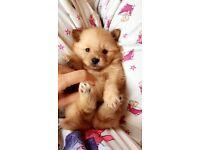 Teddy like Pomeranian puppies