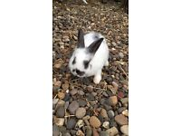 Dwarf Male Rabbit