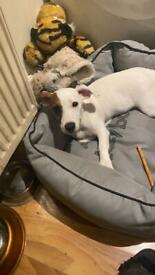 Jack Russell girl