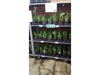 Spring Tulip Pots, Mixed Colour Flower's. Early Spring Colour Patio/Garden, Pots