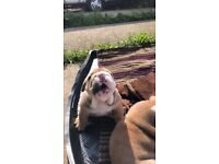 English bulldog pups for sale