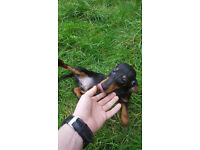 Dachshund pupy looking for home