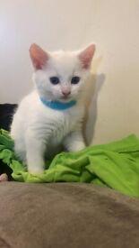 Beautiful white kitten 💙