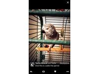 (African Grey) JUDIE The PARROT for SALE