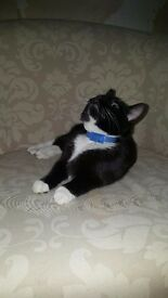 kitten for sale 5 month approx black and white