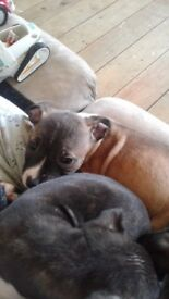 Hi all i have 4 beautiful Staffordshire puppies for sale 2 boys and 2 girls