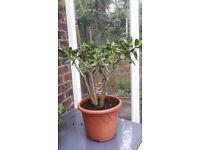 Crassula ovata or Lucky Money Tree / Plant
