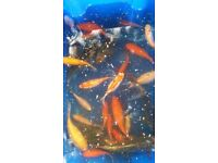 20 Koi and Assorted Pond Fish for Sale