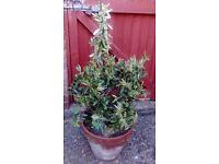 Olive tree healthy in terracotta pot