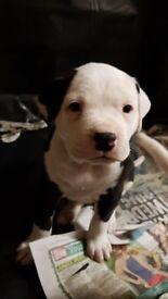 american bulldog pups johnsons type