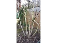Pruple Fig Tree Cutting For Sale
