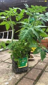 Large tomato plants £2 each *10 LEFT*