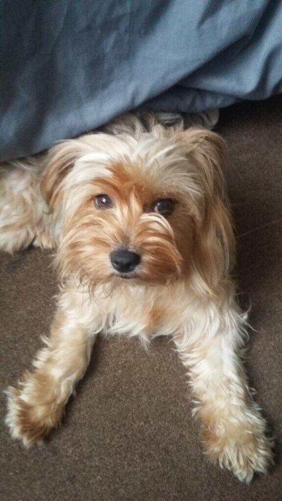 11 months Yorkshire terrier | in Fulham, London | Gumtree