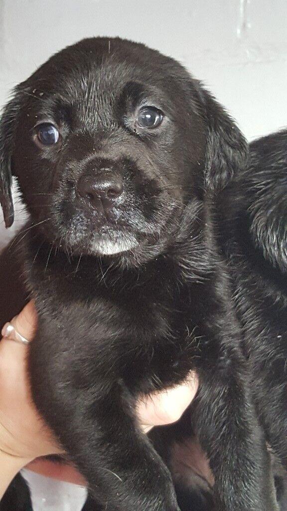 Black labrador pups. Ready Now.