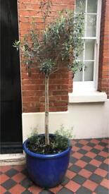 Olive Tree + Electric Blue Ceramic Pot