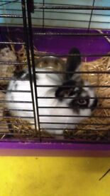 18 week old rabbits for sale