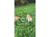 English Bulldog Puppy Boy