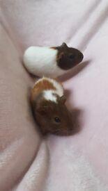 2 boy guinea pigs