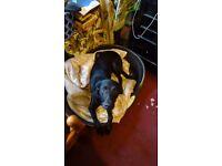 Apache 4 year old Labrador X Doberman