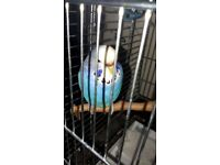 Blue Budgie with new cage