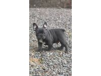 French Bulldog puppies (blue)
