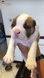 4 beautiful NEBBR registered ENglish bulldog puppies