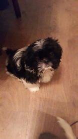 Shih Tzu boy pup 8 weeks old (ready to go)