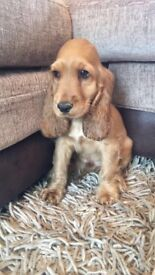 Stunning Red Cocker Spaniel Puppies Now Available