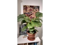 Healthy large indoor plant for sale