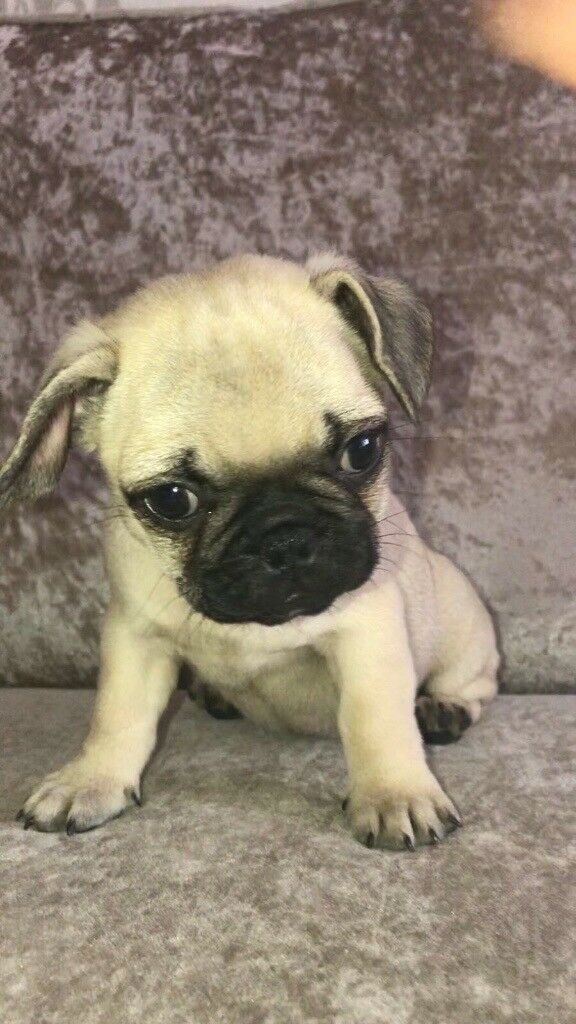 1 Frug Male Puppies For Sale 163 750 Ono In Basildon Essex
