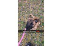 Bella is a border terrier x pug