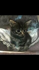 Beautiful kittens ready now all girls
