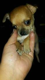 2 stunning pure pedigree chihuahuas ready the 1st week in June