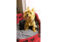 Last girl Yorkshire Terrier puppy