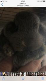 4 baby lop eared rabbits 8 weeks old