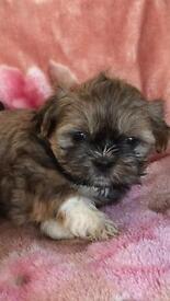 Little boy shih tzu puppies