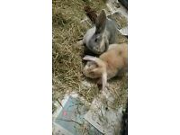 ***NEGOTIABLE ON PRICE*** 2 MINI LOPS AND COMPLETE BUNDLE
