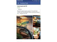 Green iguana and 3ft komodo full set up viv